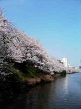 cherry blossoms along Sotobori